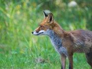 Volpe rossa animale all'aperto — Foto stock