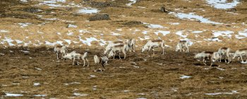 Дикий олень, пасущихся на заснеженных луг — стоковое фото