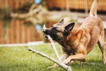 Cachorro jogando no quintal com ramos — Fotografia de Stock