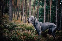 Great dane dog in the forest — Stock Photo
