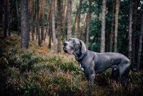 Cachorro Dogue alemão na floresta — Fotografia de Stock