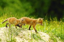 Red fox animals outdoors — Stock Photo