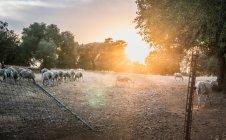 Herd of sheeps grazing outdoors — Stock Photo