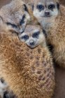 Дневное время крупным планом вид meerkats семьи — стоковое фото