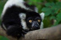 Nahaufnahme der Indri Lemur sitzend auf Ast — Stockfoto