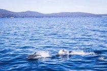 Dolphins jumping at Maria Island — Stock Photo