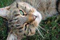 Tabby cat portrait, cat lying on green grass — Stock Photo