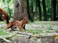 Cute fluffy small squirrel in forest — Stock Photo