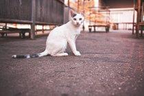 Белый короткошерстная кошка на улице на асфальтированной дороге, глядя на камеру — стоковое фото
