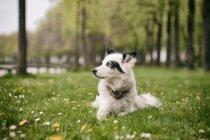 Перегляд собака білий лайка, лежачи на луг — стокове фото
