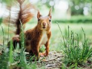 Cute fluffy small squirrel looking at camera — Stock Photo