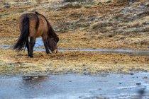 Iceland pony, Icelandic horse — Stock Photo
