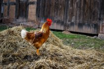 Daytime side view of one brown rooster on straw heap — стокове фото