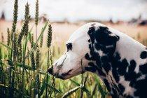Chien Dalmatien en pré vert — Photo de stock