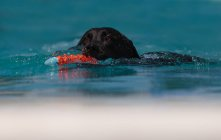Dog swimming in water with toy — Stock Photo