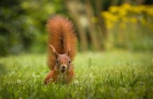Squirrel animal outdoors — Stock Photo