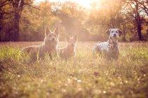 Vista di giorno di tre cani in prato che guarda l'obbiettivo — Foto stock
