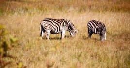 Вид диких зебр в естественной среде обитания — стоковое фото