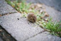 Kleine graue Maus — Stockfoto