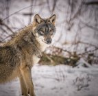 Волк в естественной среде обитания — стоковое фото