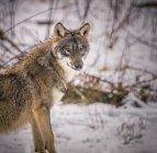 Вовк в природному середовищі існування — стокове фото
