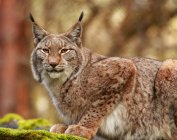 Close-up side view of lynx sitting on moss — Stock Photo