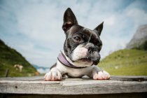 Boston terrier sitting on the bench — Stock Photo