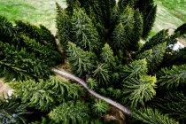 Paesaggio con vista dall'alto di foresta di abete — Foto stock