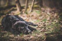 Vista de cão preto deitado em folhas outonais — Fotografia de Stock