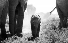 Elefanti africani, Loxodonta Elefantina — Foto stock