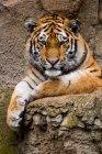 Tigre adulto descansando - foto de stock