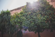Clementine tree with fruits and yucca plant on sunny street by wall — Stock Photo
