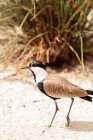 Close-up view of lapwing on sand — Stock Photo