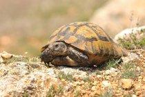 Rettile tartaruga in habitat naturale — Foto stock