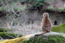 Вид сзади meerkat, сидя на скале — стоковое фото