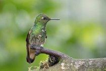 Vista ravvicinata del colibrì che si siede sulla filiale di albero — Foto stock