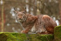 Side view of lynx sitting on stones — Stock Photo