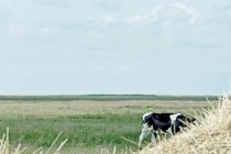Cow grazing in green field — Stock Photo