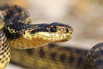 Cobra na natureza selvagem — Fotografia de Stock