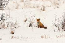 Red fox animal outdoors — Stock Photo
