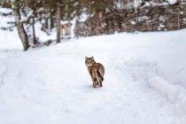 Gatto che cammina sulla neve — Foto stock