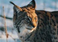 Lynx looking away — Stock Photo
