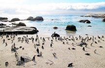 Colony of penguins on rocky shoreline — Stock Photo