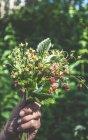 Hand holding picked wild strawberries — Stock Photo