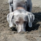 Close-up view of weimaraner dog digging at sand — Stock Photo