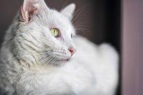 Retrato de gato branco, observando de longe — Fotografia de Stock