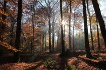 Illuminazione di sole attraverso gli alberi — Foto stock