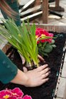 Close-up view of female hands planting flowers — Stock Photo