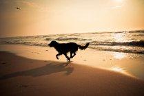 Silhouette der Hund läuft am Strand bei Sonnenuntergang — Stockfoto