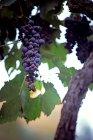 Gros plan de grappe de raisin au feuillage vert — Photo de stock